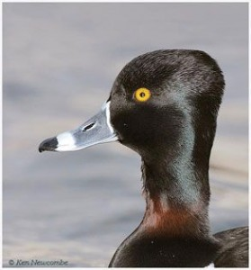 Ring-Necked Duck Photo: © Ken Newcombe