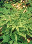 Nothern Maidenhair Fern