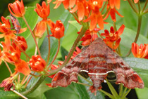 Nessus Sphinx Moth and Milkweed Beetle on Butterfly Milkweed  (Photo: Glenn Barrett)
