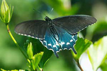 Pipevine Swallowtail  (Photo: Bob Walling)