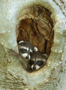 Curious young racoons (Photo: Barry Cherriere)