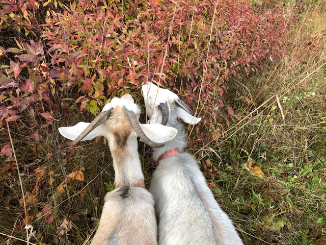 Goats having a snack